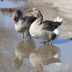 two grey geese stand in muddy puddle on side of road