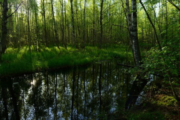 Sunny early morning on a forest river in the fresh green of trees