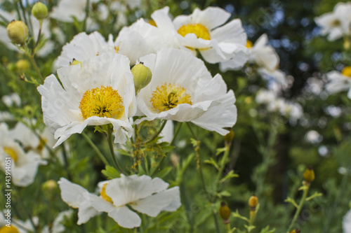 Small white flowers with a yellow center in the alpine mountains small white flowers with a yellow center in the alpine mountains mightylinksfo