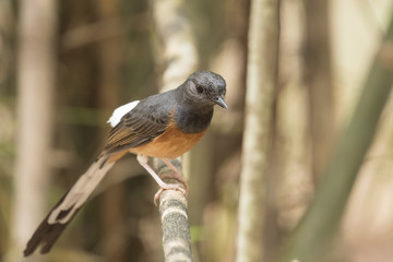White-rumped Shama,  View Beautiful