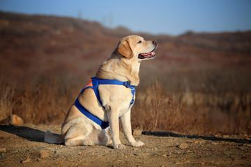 Smart labrador retriever