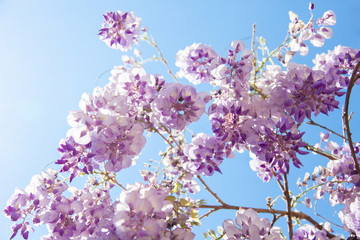 Fotomurales - Beautiful wisteria flowers are blooming in spring in the garden on sunny day on background of blue sky.