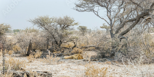 African desert landsape with a sleeping lioness. Namibia, Etosha national park.