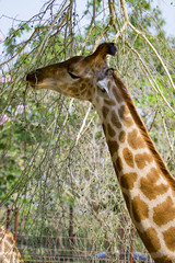 Image of giraffe on nature background. Wild Animals.