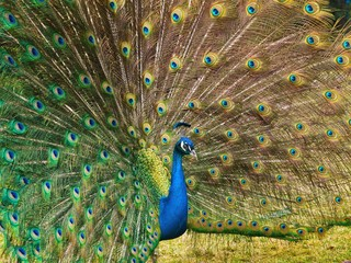 Male peacock displaying fully opened tail