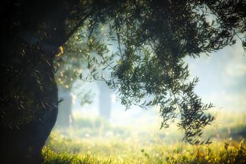 Photo sur Toile Oliviers coltivazione di ulivi in Puglia