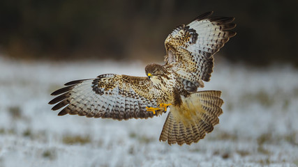 Common buzzard, landing in snow