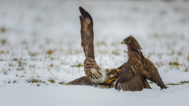Two common buzzards, fighting in snow