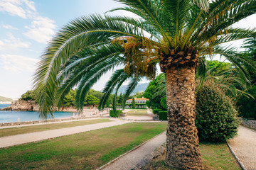 Palm tree. Date tree in Montenegro. Palm forest