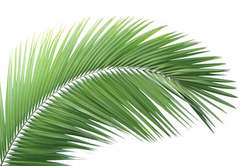Green palm leaf isolated