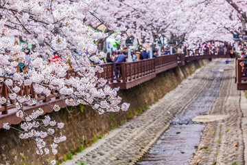 Cherry blossom at Yeojwacheon Stream, Jinhae sakura festival, Jinhae, South Korea