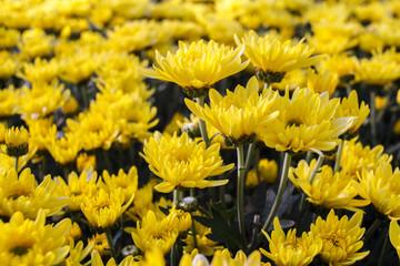 Yellow Chrysanthemum flower in garden.