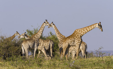 South African giraffe or Cape giraffe (Giraffa giraffa giraffa) herd. Botswana