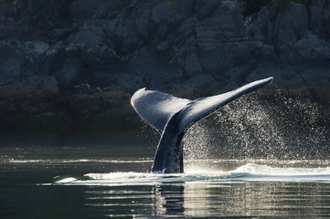 Humpback whale beginning to dive
