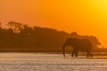 African bush elephant or African elephant (Loxodonta africana) crossing the Chobe River at sunset. Botswana