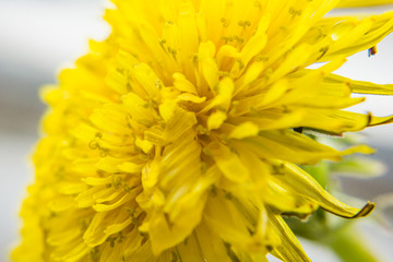 Closeup of spring, blooming, dandelion. Easter concept.