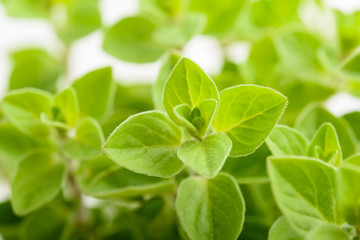 marjoram plants background