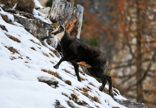 Chamois walking on snow covered mountain