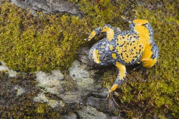 Ululone appenninico, Bombina pachypus, in the unkenreflex position.