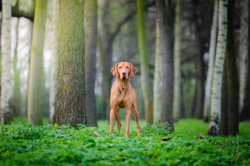 Hungarian pointer vizsla in forrest