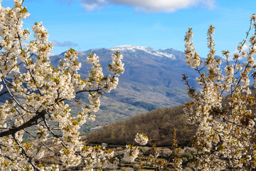 Flowering of the cherry trees. Jerte Valley. Spain