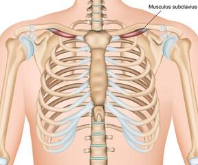 Musculus subclavius medical vector illustration