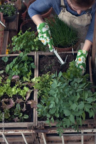 Frau Pflanzt Gemuse Und Krauter Im Hochbeet Am Balkon Stockfotos