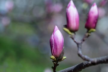 button  pink magnolia flower