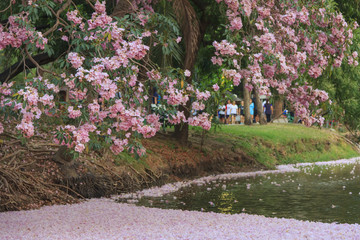 Pink flowers Tabebuia Rosea tree (also called Chompoo Pantip) in full blossom season at Rodfai Park, Bangkok