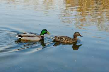 Ducks in the park pond