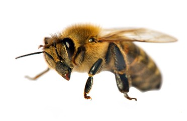 detail of bee or honeybee , Apis Mellifera
