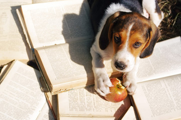 Puppy of Estonian hound gnaws apple on old open books