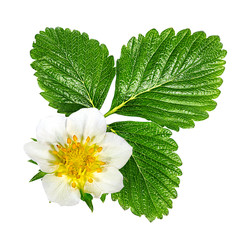 Fototapete - green leafs of strawberry with flower isolated