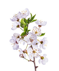 Apricot flower on white background