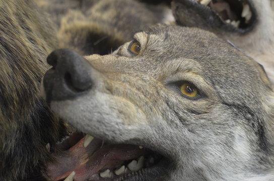 wolf's muzzle close-up