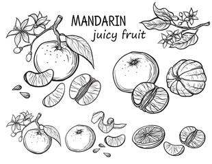 Vector set oranges hand drawn sketch. Sketch vector food illustration. Vintage style