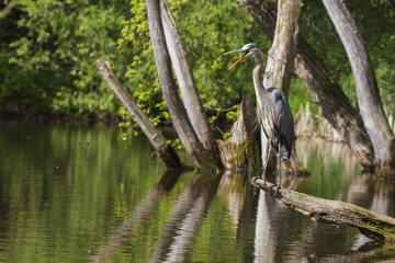 Grey great heron fishinng