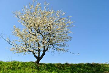Obraz Kwitnące drzewo owocowe na tle błękitnego nieba - fototapety do salonu