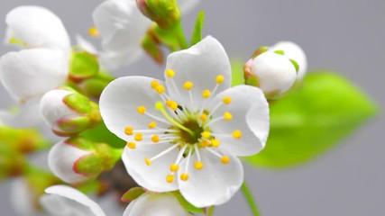 Fotoväggar - Cherry tree flowers blossom time lapse, extreme closeup. 4K UHD video 3840X2160