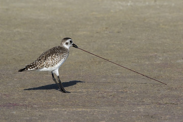 A Sandpiper (Scolopacidae) pulls a blood  worm (Glycera) from the sand at Fort Desoto Park near St. Pete Beach, Florida