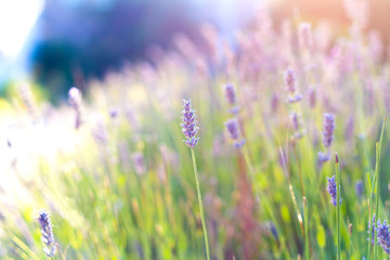 Lavender flowers in sunny day.