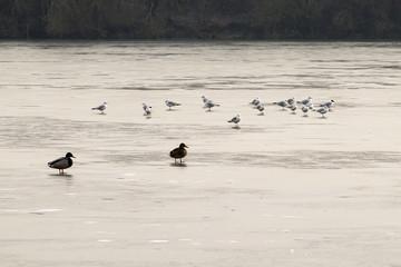 canards sur un lac gelé