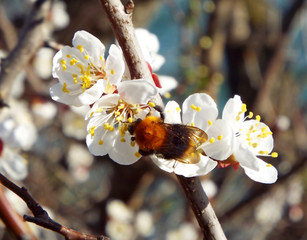 Blooms apricot