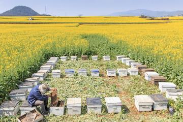 Beekeeper working in rapeseed field