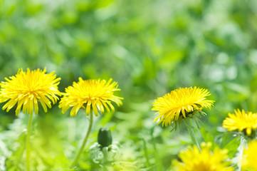 タンポポ たんぽぽ 芝生
