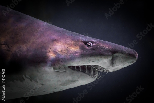 the background information of the great white shark The great white shark  which helps the shark blend into the background  what kind of color and markings do sharks have.