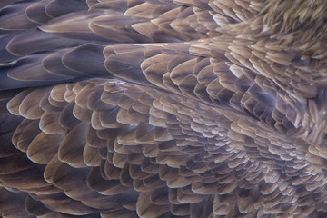 Abstract nature texture background of eagle feathers