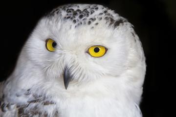 Polar owl portrait with black background. Shallow DOF ( soft focus on the owl head )