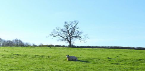 Wall Mural - Alone sheep graze under the tree on a horizon