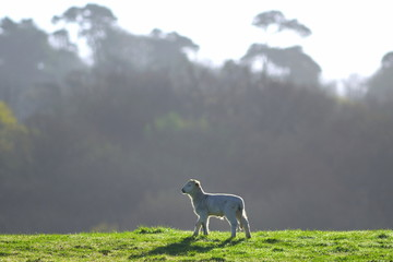 Wall Mural - Young lamb on a farmland in East Devon